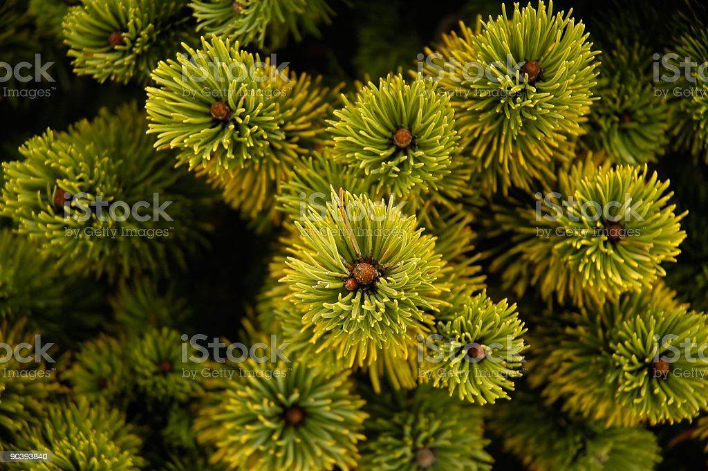 Conifers from above royalty-free stock photo
