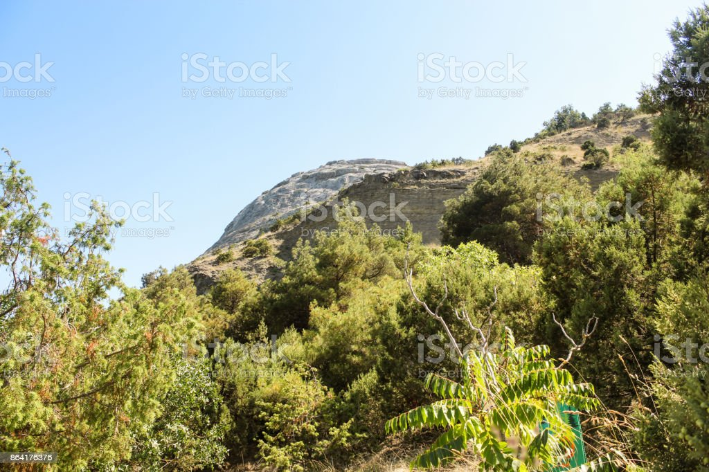 Conifers on the mountain. royalty-free stock photo