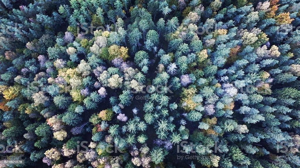 Conifers stock photo
