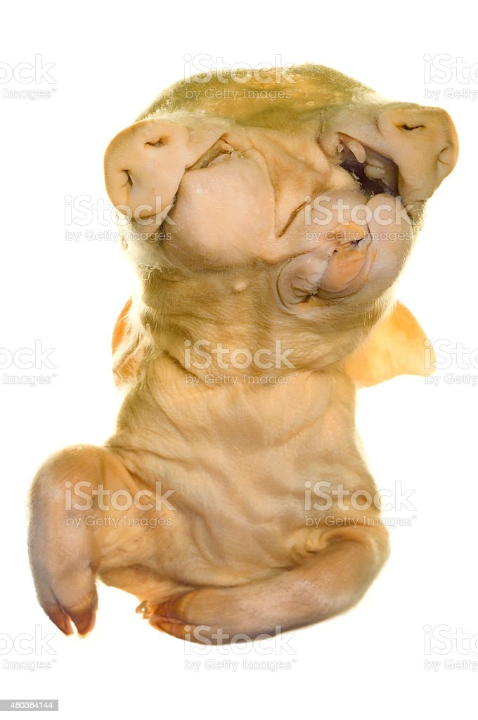 Conjoined (Siamese) Piglets stock photo