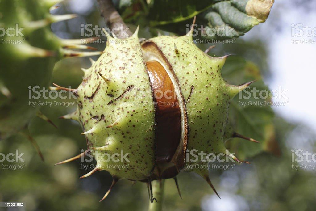 Conker horse chestnut tree split seed case stock photo