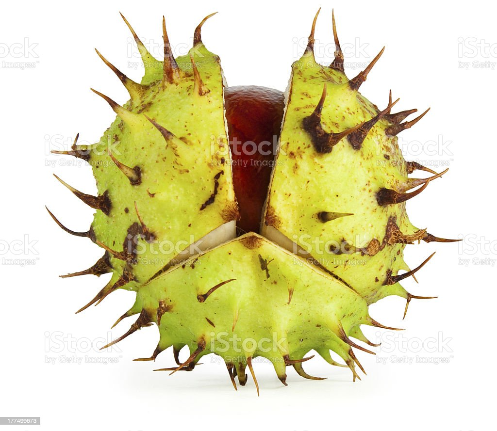 Conker in Husk stock photo