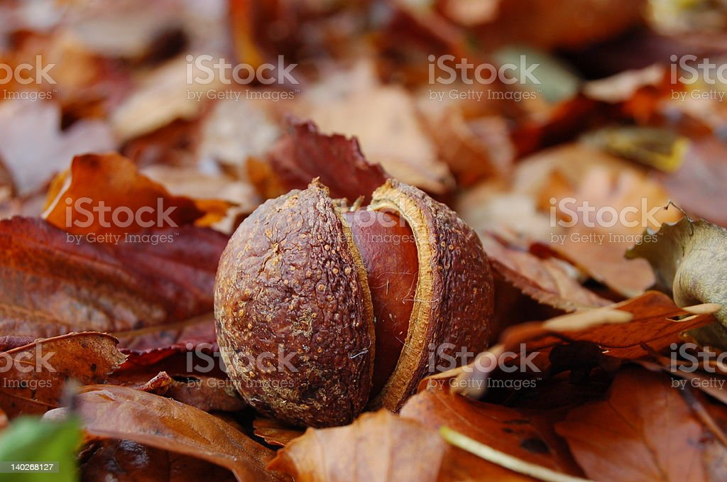 conker royalty-free stock photo