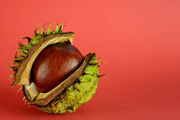 Conker shell splitting to reveal conker – Foto