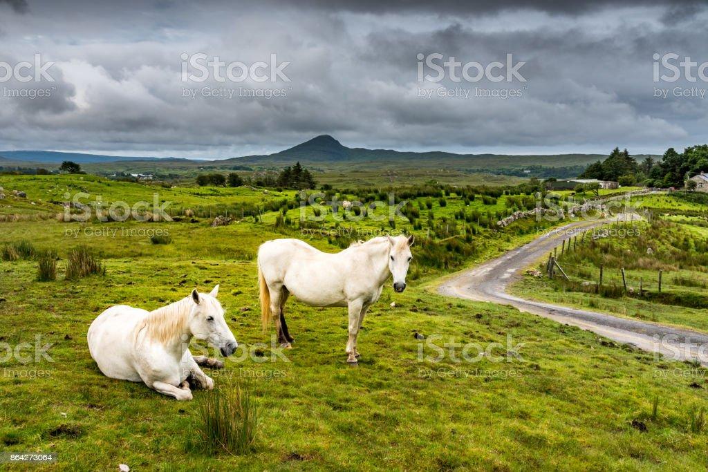 Connemara Ponies in freedom royalty-free stock photo