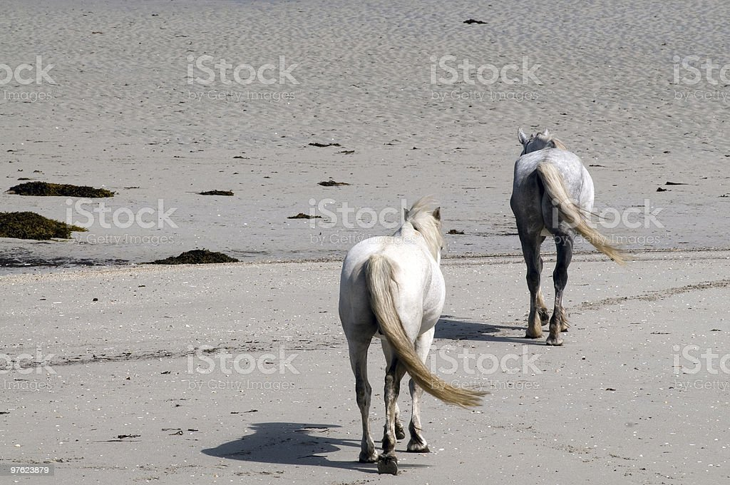 Connemara pony and Irish Draught horse royalty-free stock photo