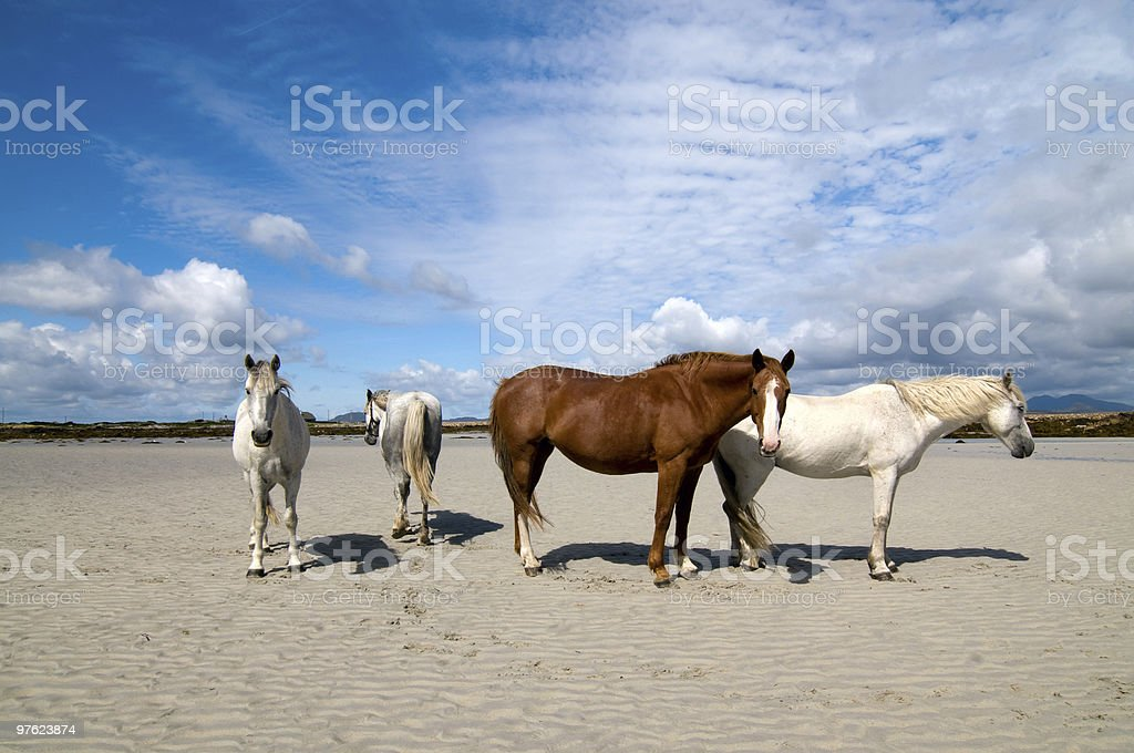 Connemara pony and Irish Draught horses royalty-free stock photo