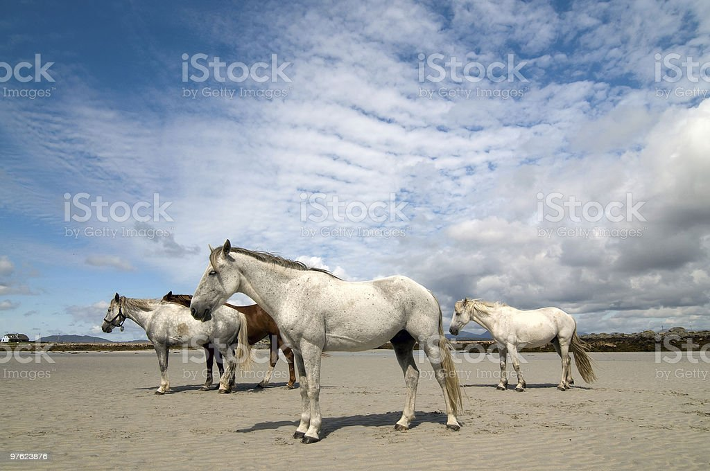 Connemara pony and Irish Draught horses royaltyfri bildbanksbilder