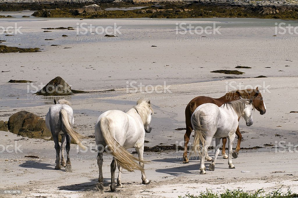 Connemara pony and Irish Draught horses royaltyfri bildbanksbilder