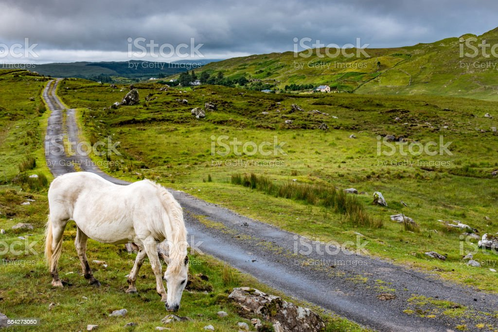 Connemara Pony in freedom stock photo