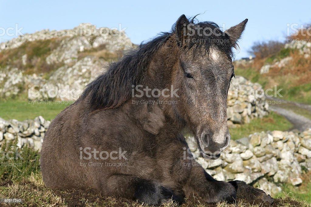 Connemara pony royaltyfri bildbanksbilder