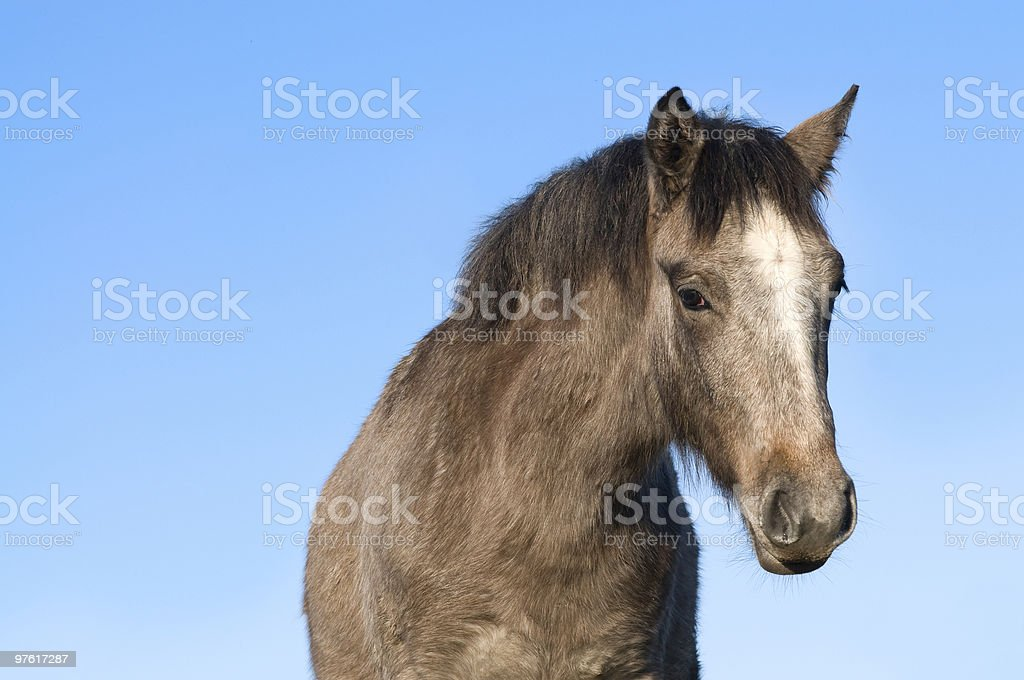 Connemara pony royalty-free stock photo