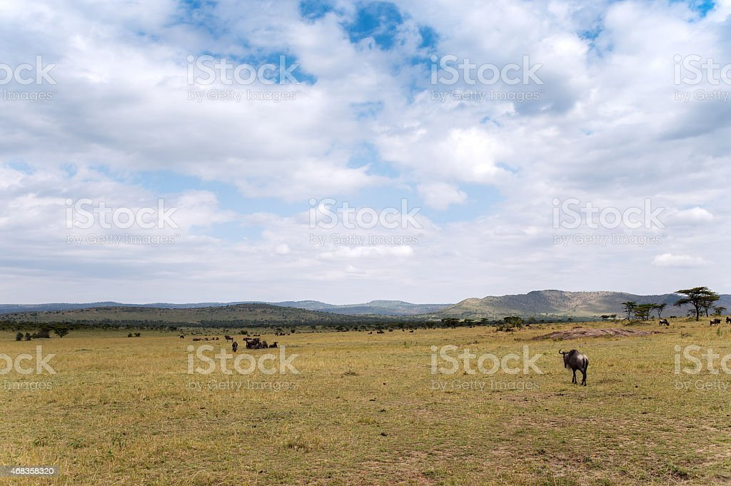 Connochaetes taurinus (Blue Wildebeest) - Serengeti National Park, Tanzania royalty-free stock photo