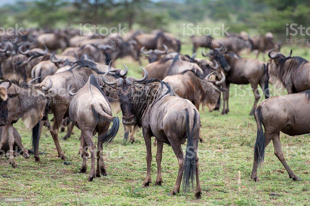 Connochaetes taurinus (Blue Wildebeest) - Tanzania, Serengeti National Park royalty-free stock photo
