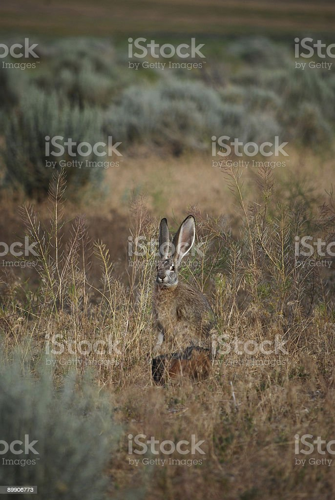 Conspicuous Jackrabbit. royalty-free stock photo
