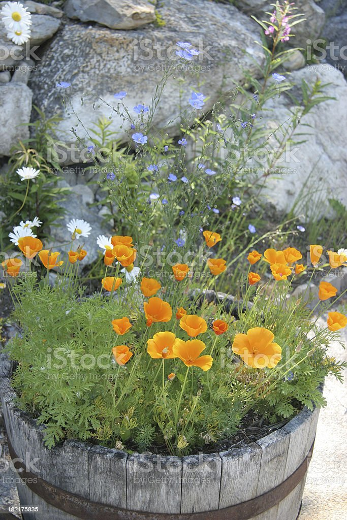 \'California Poppies planted in wooden 1/2 Barrel. Flax,Daisies,and...