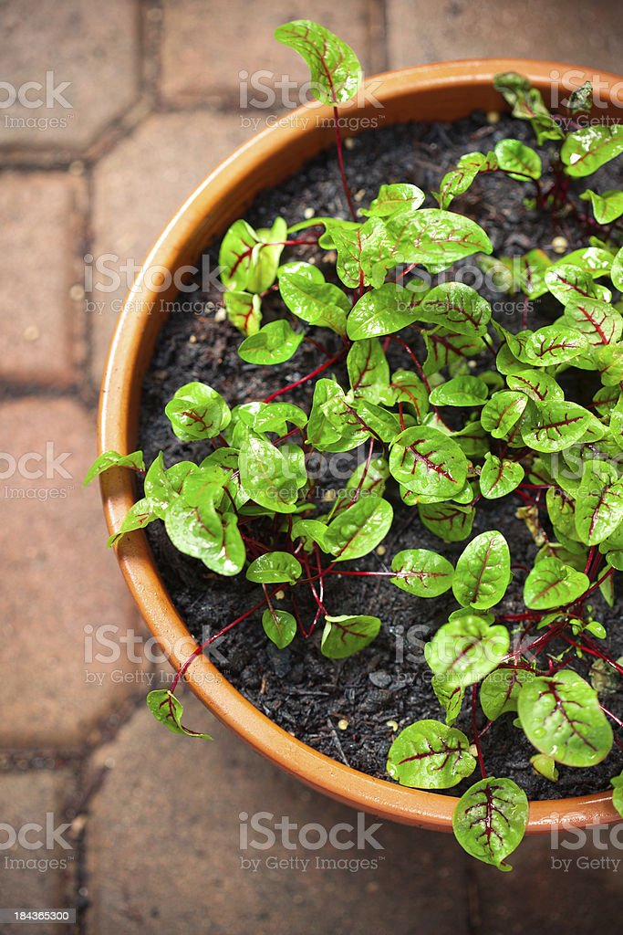 Beautiful herb seedlings in a container. Shallow dof