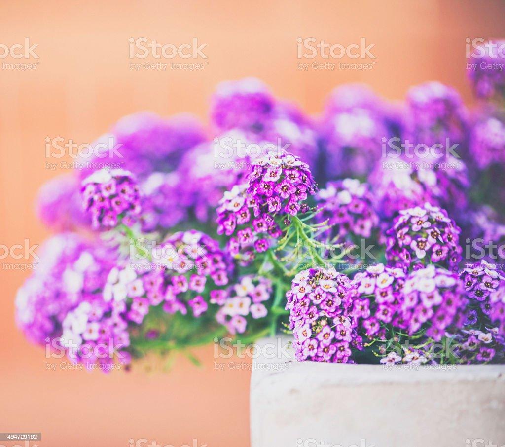 Sweet alyssum flowers in concrete planter