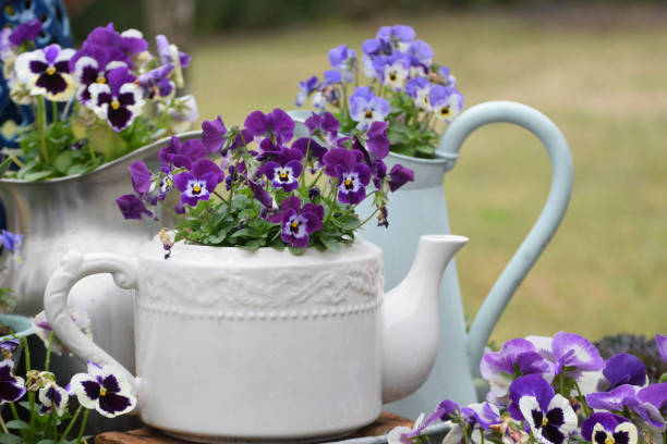 Container Gardening with Recycled Kitchen Items Blooming Pansy and Viola Plants in Old Fashioned Teapot and Metal Pitchers pansy stock pictures, royalty-free photos & images