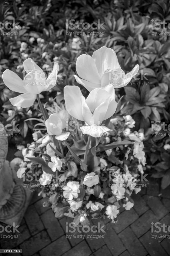 Container Gardening with various white Early Spring Flowers and...