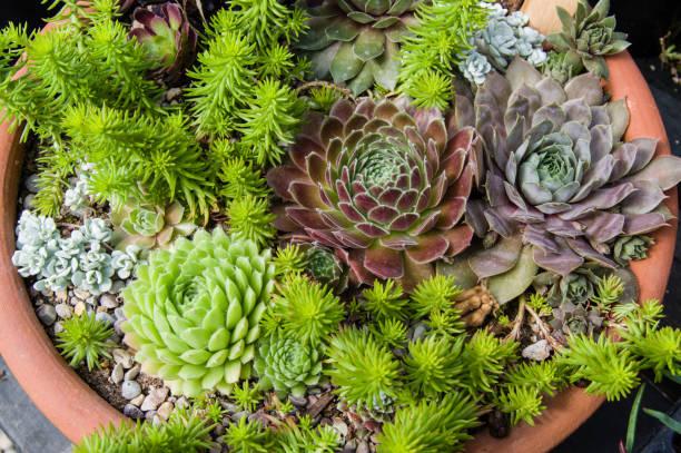 container growing sedum plants with colorful leaves - dachwurz stock-fotos und bilder