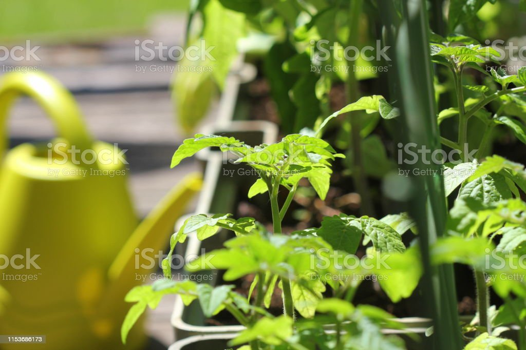 Container vegetables gardening. Vegetable garden on a terrace. Flower, tomatoes growing in container Container vegetables gardening. Vegetable garden on a terrace. Flower, tomatoes growing in container . Agriculture Stock Photo