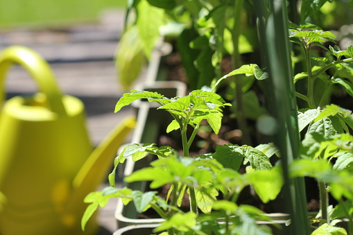 Container Vegetables Gardening Vegetable Garden On A Terrace Flower Tomatoes Growing In Container Stock Photo - Download Image Now