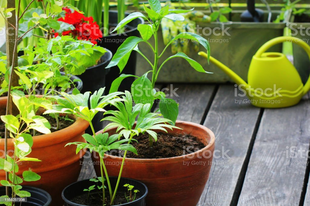 Container vegetables gardening. Vegetable garden on a terrace....