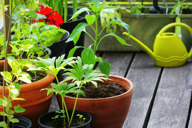 Container vegetables gardening. Vegetable garden on a terrace. Flower, tomatoes growing in container stock photo