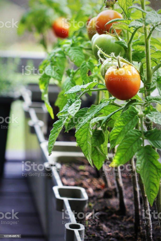 Container vegetables gardening. Vegetable garden on a terrace. Herbs,...