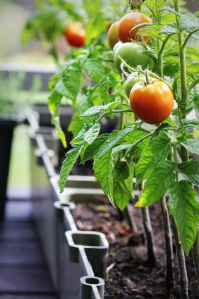 Container vegetables gardening. Vegetable garden on a terrace. Herbs, tomatoes growing in container stock photo