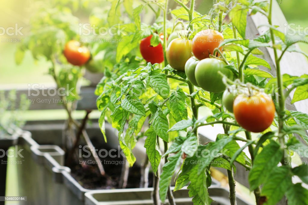 Container vegetables gardening. Vegetable garden on a terrace. Herbs, tomatoes growing in container Container vegetables gardening. Vegetable garden on a terrace. Herbs, tomatoes growing in container . Agriculture Stock Photo