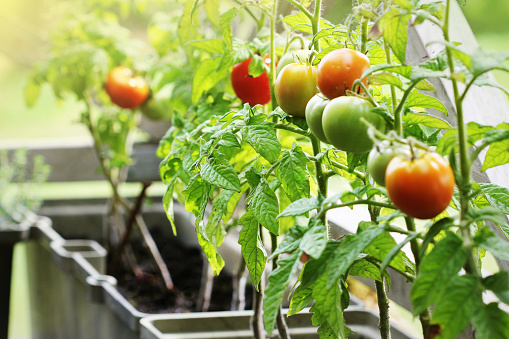 Container Vegetables Gardening Vegetable Garden On A Terrace Herbs Tomatoes Growing In Container Stock Photo - Download Image Now