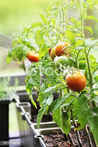 Container vegetables gardening. Vegetable garden on a terrace. Herbs, tomatoes growing in container .