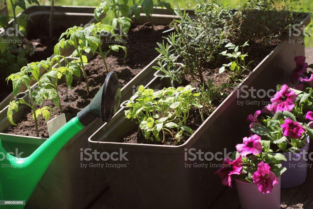 Behållare grönsaker trädgårdsskötsel. Köksträdgård på en terrass. Örter, tomater plantan växer i behållaren. Blomma petunia i krukor - Royaltyfri Balkong Bildbanksbilder