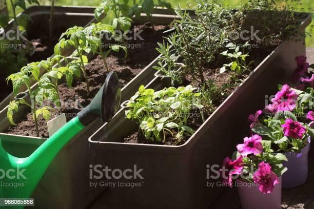 Behållare Grönsaker Trädgårdsskötsel Köksträdgård På En Terrass Örter Tomater Plantan Växer I Behållaren Blomma Petunia I Krukor-foton och fler bilder på Balkong