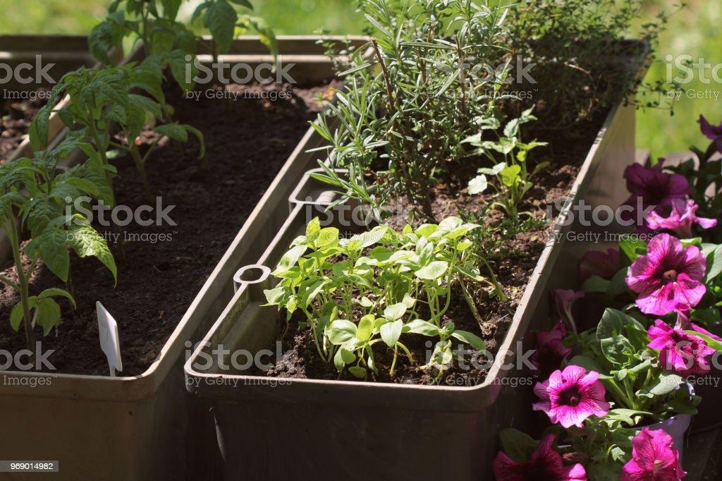 Containergemuse Im Garten Gemusegarten Auf Der Terrasse Krauter