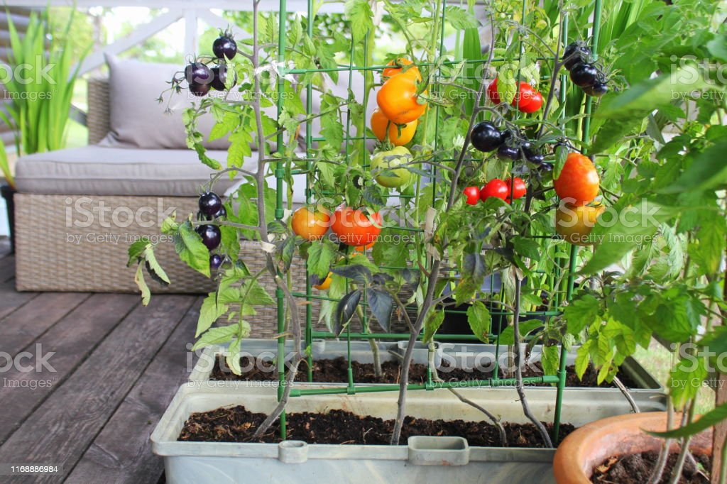 Container vegetables gardening. Vegetable garden on a terrace. Red, orange, yellow, black tomatoes growing in container Container vegetables gardening. Vegetable garden on a terrace. Red, orange, yellow, black tomatoes growing in container . Agriculture Stock Photo