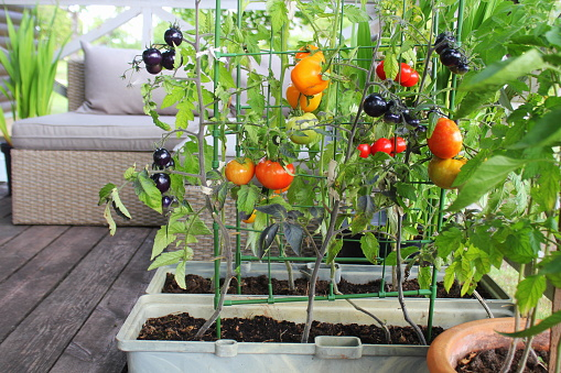 Container Vegetables Gardening Vegetable Garden On A Terrace Red Orange Yellow Black Tomatoes Growing In Container Stock Photo - Download Image Now