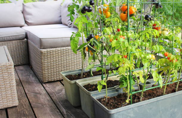 Container vegetables gardening. Vegetable garden on a terrace. Red, orange, yellow, black tomatoes growing in container stock photo