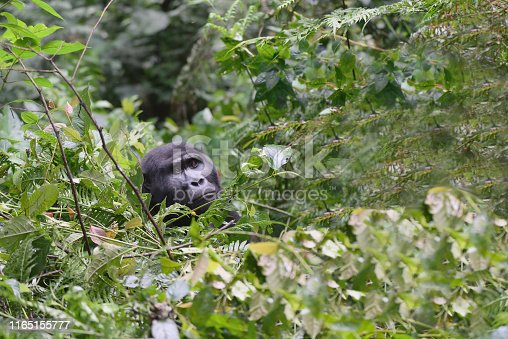 A impressive male Eastern Mountain Gorilla stares out of the foliage in the Blind Impenetrable Forest National Park is simply one of the most impressive critters in the world, if this doesn't get your juices flowing you might want to check for a pulse