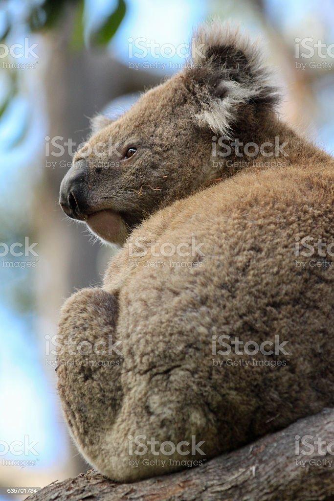Contemplative Koala royalty-free stock photo