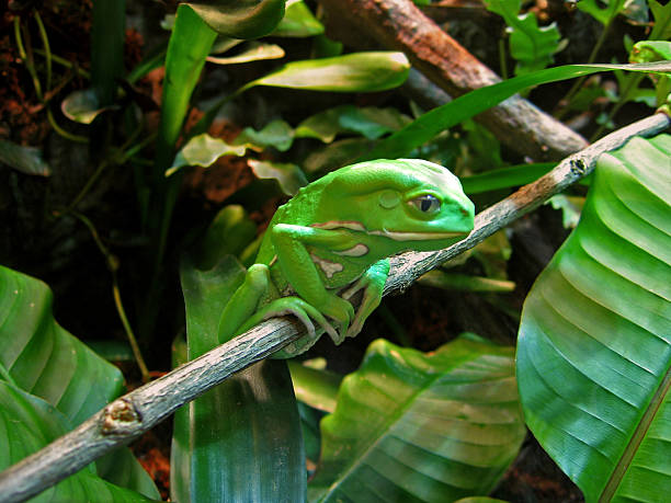 Contemplative Waxy Monkey Tree Frog on Branch stock photo