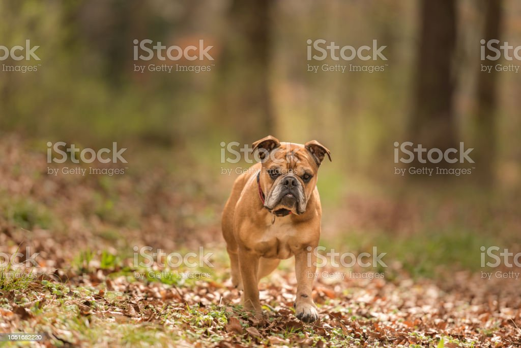 Continental Bulldog Dog Is In The Forest In Early Spring Stock Photo Download Image Now Istock