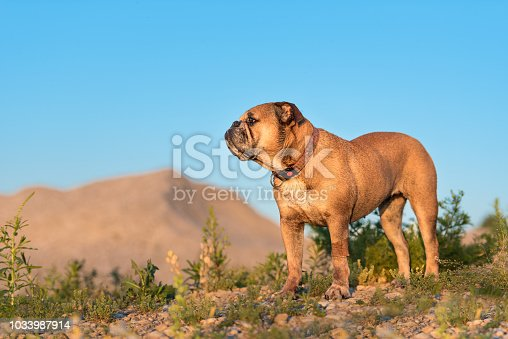 istock Continental Bulldog. Dog is standing in a beautiful meadow with flowers and hills in front of blue sky 1033987914