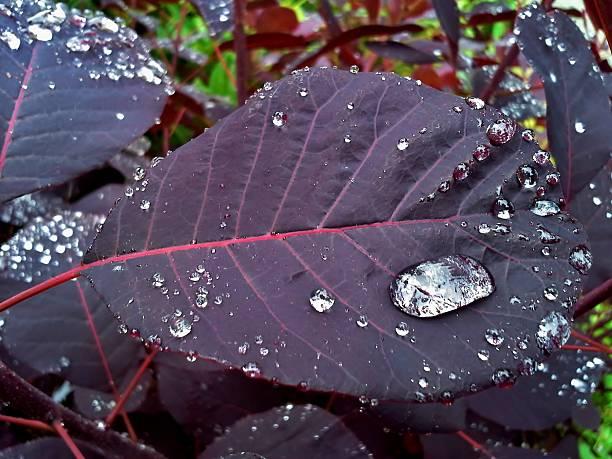continus coggygria / royal purple / smoke tree 2 - perückenstrauch stock-fotos und bilder