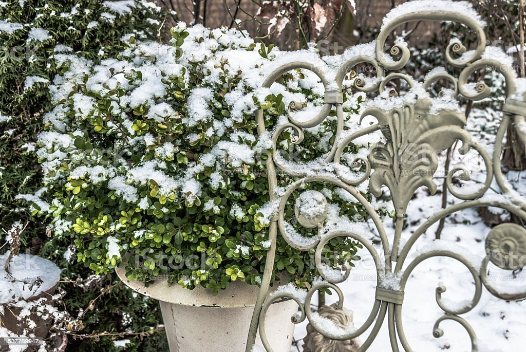 Contour cut buxus in winter snow covered in a garden stock photo