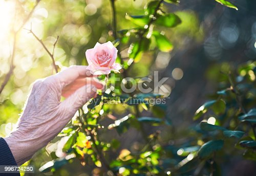 The wrinkled hands of an old woman make a sharp contrast to the fresh rose flower she is picking.