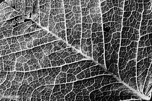 637513166istockphoto Contrasty texture of leaf veins 542694266