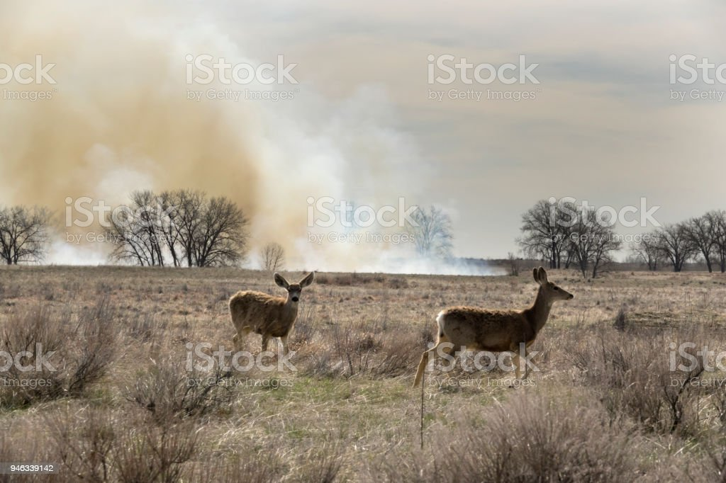 Controlled fire burn deer graze Rocky Mountain Arsenal National Wildlife Refuge Colorado stock photo
